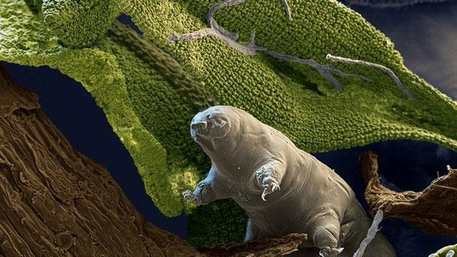 Kinh hoàng với khả năng sống bất tử của bọ gấu nước