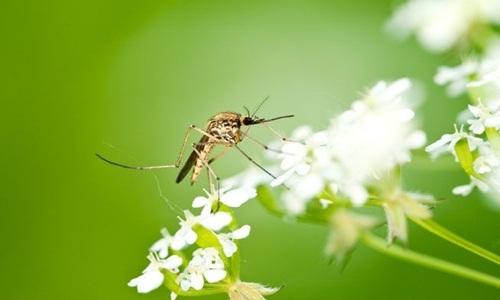 Những điều thú vị về loài muỗi và cách phòng chống muỗi