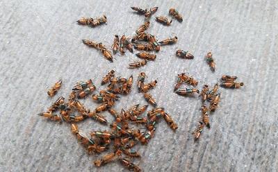 Những tác hại nguy hiểm từ kiến ba khoang