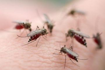 Phát hiện hoa tú cầu chữa được bệnh sốt rét